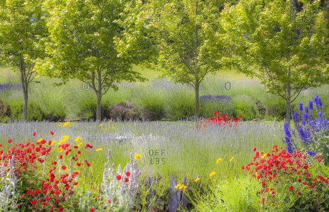 USA, Sequim, Washington State, Pacific Northwest Red Poppies, Lavender garden