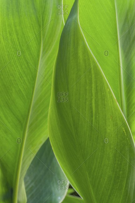 Close-up detail view of Canna leaf
