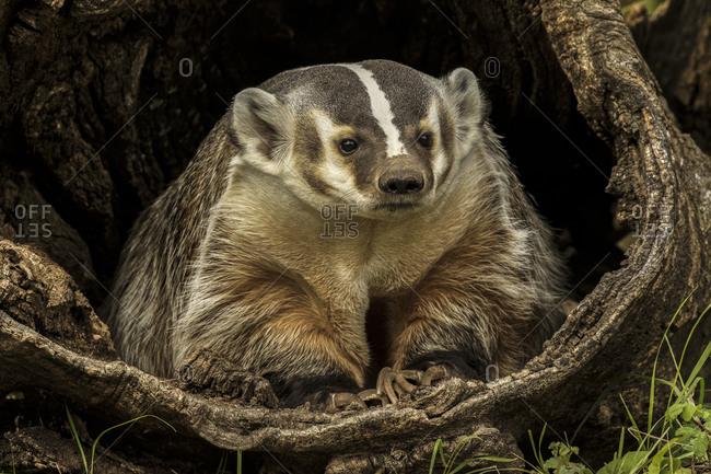 American Badger resting in shelter