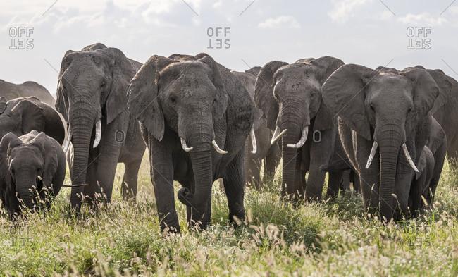Africa, African elephant, Amboseli National Park. Front of elephant herd walking.