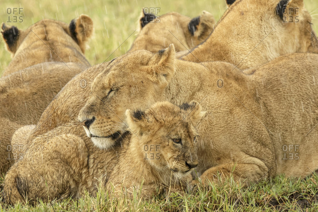 Juvenile lion cubs with adult female lion, Ngorongoro Crater, Tanzania, Africa.