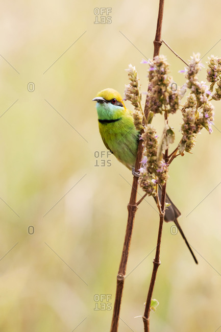 India, Madhya Pradesh, Kanha National Park. A green bee-eater perching on a grass stem.
