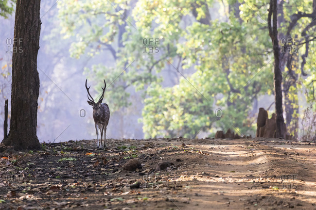 India, Madhya Pradesh, Kanha National Park. A spotted deer standing near the road through the sale forest.