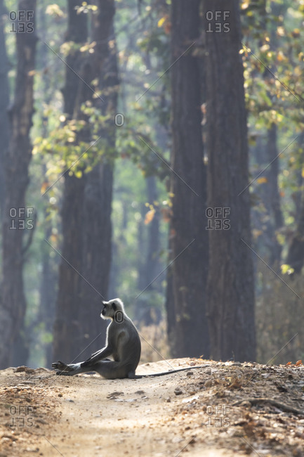 India, Madhya Pradesh, Kanha National Park. A northern plains langur sitting at the edge of the road through the sale forest.