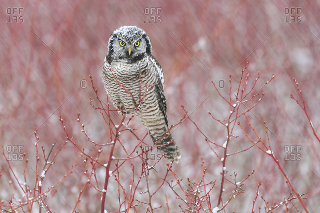 Canada, British Columbia. Northern hawk owl perched on blueberry bush.