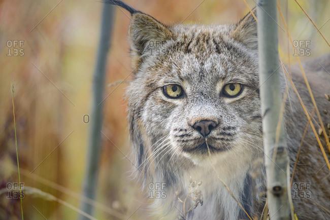 Canada, Yukon, Whitehorse, captive Canada lynx portrait.