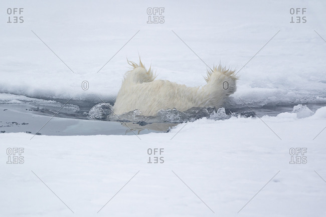 North of Svalbard, pack ice. A polar bear prepares to swim between slabs of ice.
