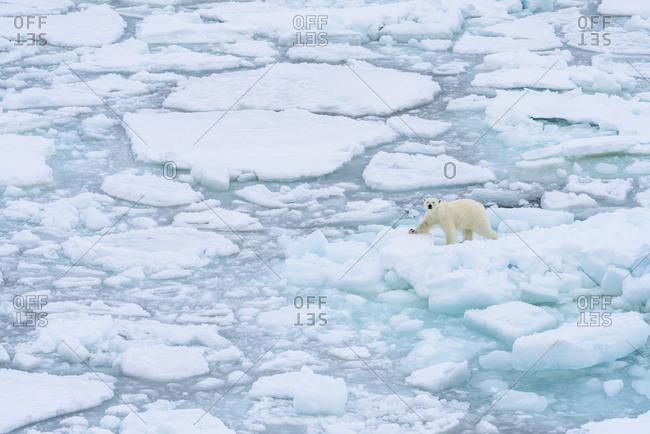 Norway, Svalbard. Sea ice edge, 82 degrees North, polar bear on the move.