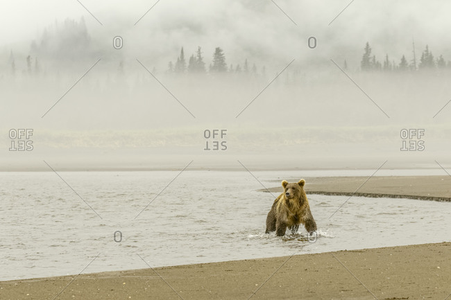 Brown bear fishing for salmon and morning mist, Silver Salmon Creek, Lake Clark National Park, Alaska.