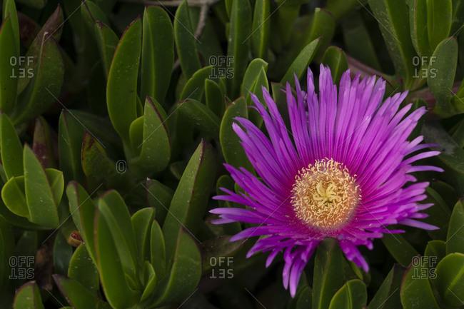 USA, California. Ice plant succulent flower close-up.