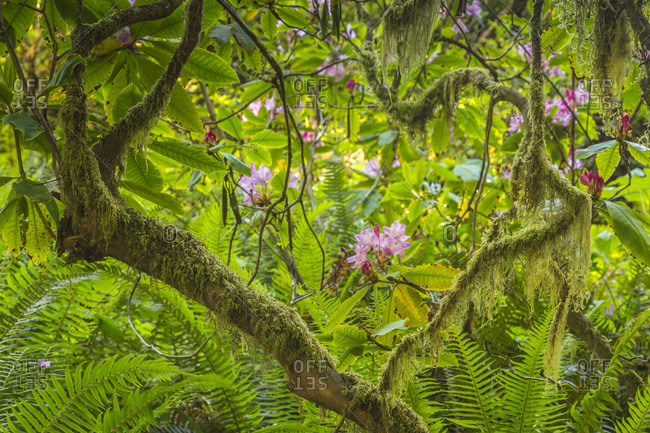 USA, California, Redwoods National and State Parks. Rhododendron blossoms and mossy tree.