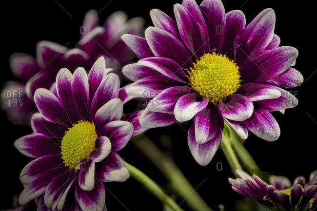 USA, Colorado, Fort Collins. Orinoco daisies close-up.