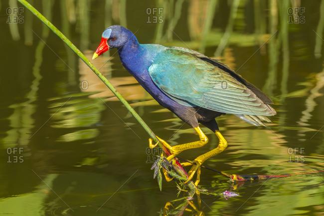 USA, Florida, Wakodahatchee Wetlands. Purple gallinule foraging for nesting material.