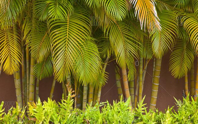 USA, Hawaii, Maui, Kihei, Palm trees growing along wall