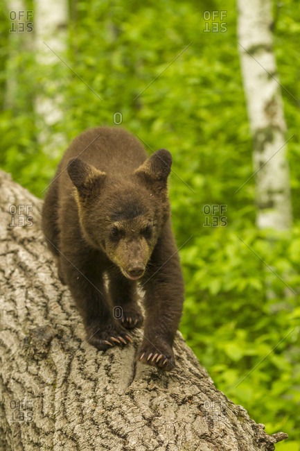 USA, Minnesota, Pine County. Black bear cub on tree.