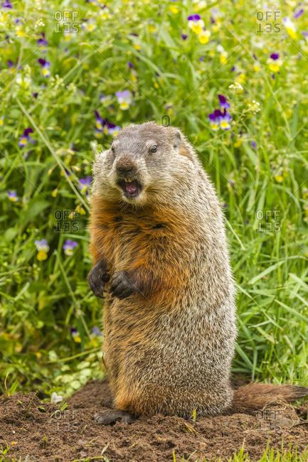 USA, Minnesota, Pine County. Adult woodchuck at den.