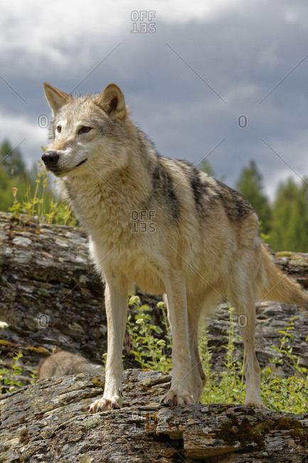 USA, Montana. Tundra wolf close-up in controlled environment.