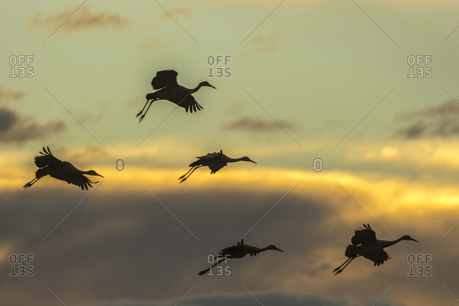USA, New Mexico, Bosque del Apache National Wildlife Refuge. Group of sandhill cranes landing at sunset.