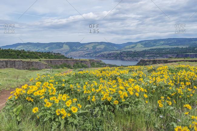 USA, Oregon. Tom McCall Nature Preserve, Rowena Plateau wildflowers.