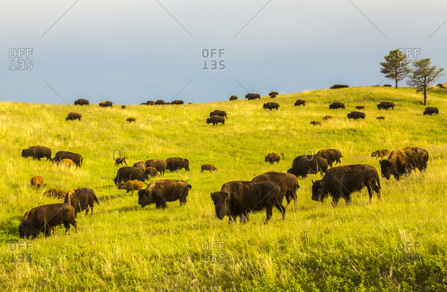 USA, South Dakota, Custer State Park. Bison herd in meadow.