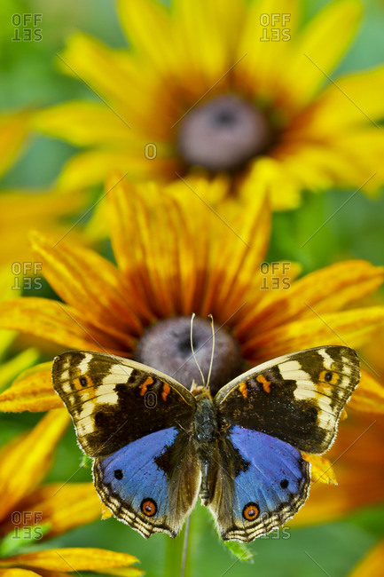 Junonia orithya a small tropical butterfly on golden hirta daisies
