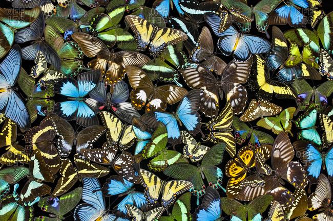 Butterflies grouped together to make pattern, Sammamish, Washington State