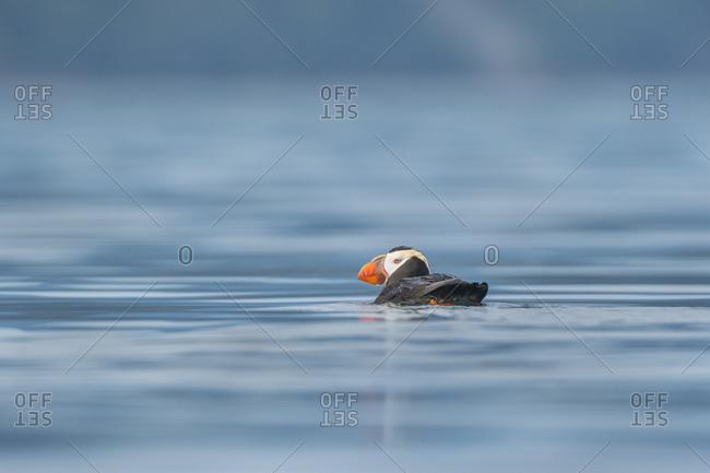 USA, Washington State. A Tufted Puffin (Fratercula cirrhata) floats near Protection Island.