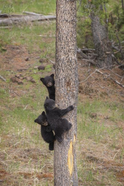 USA, Wyoming, Yellowstone National Park. Three black bear cubs climb pine tree.