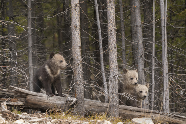 USA, Wyoming, Yellowstone National Park. Three grizzly bear cubs.