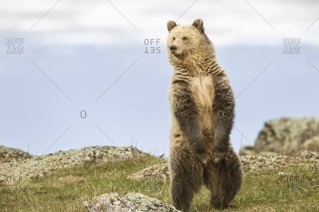 USA, Wyoming, Yellowstone National Park. Grizzly bear sniffing air while standing.