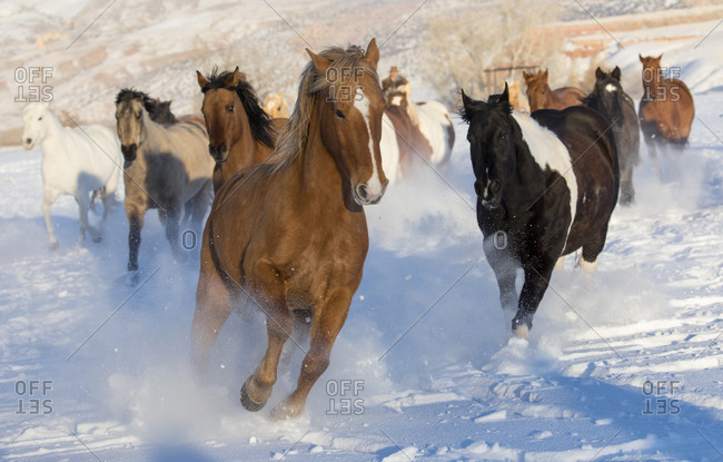 Horse drive in winter on Hideout Ranch, Shell, Wyoming. Herd of horses running in winters snow.