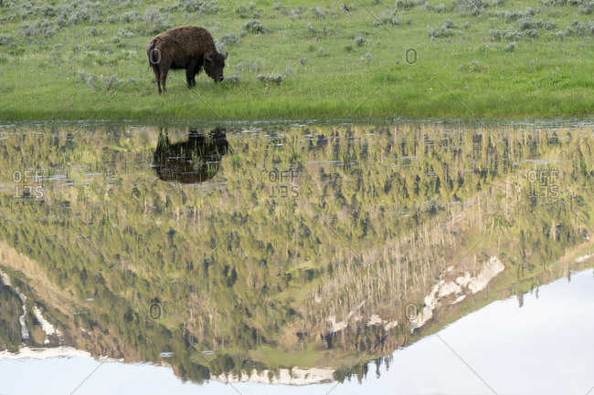Yellowstone National Park, Lamar Valley. American bison is enjoying the green grass of spring while the hills are reflected in spring run off.