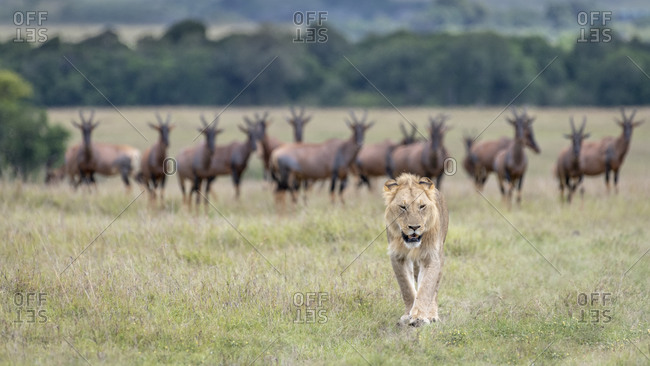 Africa, Kenya, Maasai Mara National Reserve. Young lion walking away from topi antelopes.
