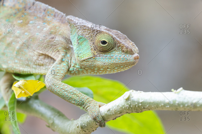 Africa, Madagascar, Marozevo, Peyrieras Reptile Reserve. Portrait of a panther chameleon on a branch.