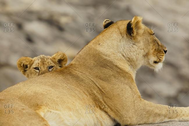 Lion cub, Serengeti National Park, Tanzania, Africa.