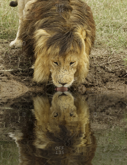 Large black maned male Lion and reflection, Serengeti National Park, Tanzania, Africa.