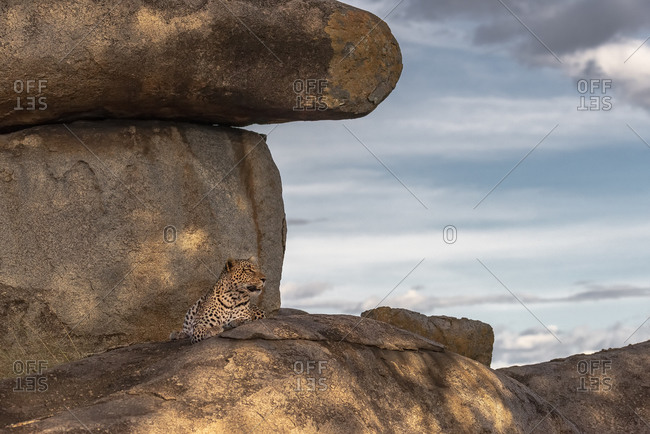 Africa, Tanzania, Serengeti National Park. Leopard resting on boulders.