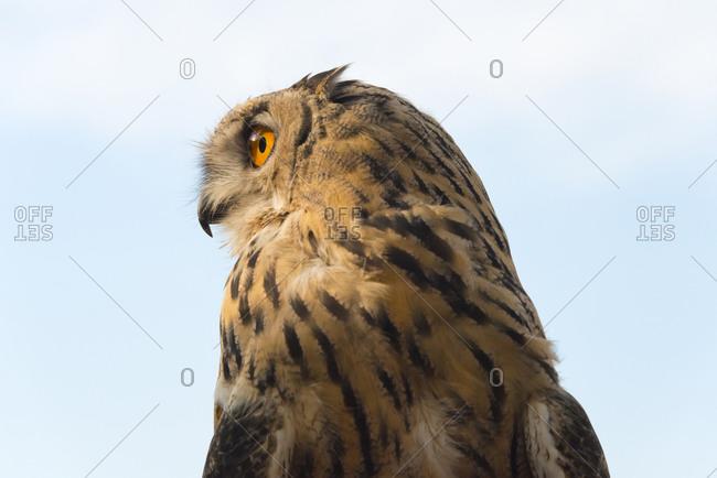 Dotted owl in the Trans-Ili Alatau mountains, Kazakhstan