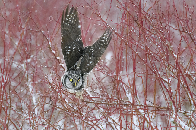Canada, British Columbia. Northern hawk owl takes off from blueberry bush.