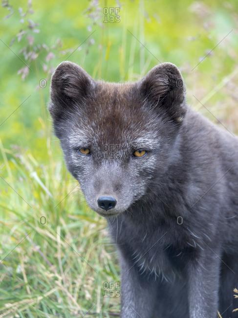 Arctic Fox (Vulpes lagopus, Alopex lagopus), Melrakkasetur Islands, Westfjords, Iceland.