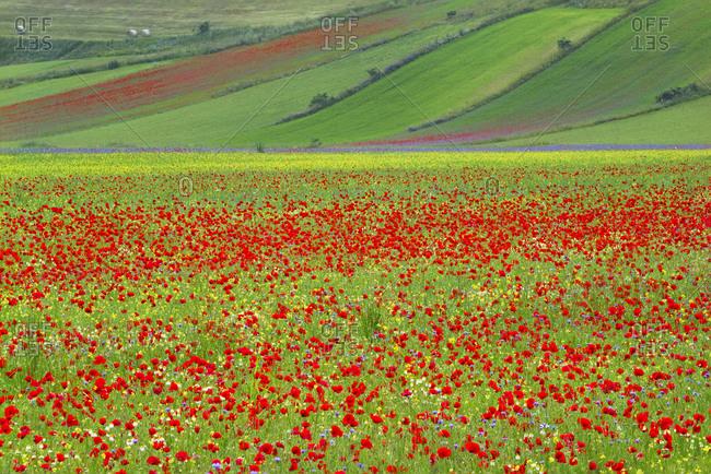 Europe, Italy, Castellucio. Piano Grande field of flowers.