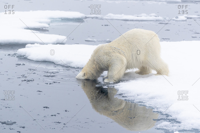 North of Svalbard, pack ice. A polar bear dips its head into the water to see what is underneath.