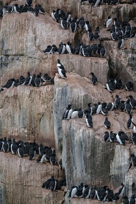 Svalbard, Spitsbergen, bird cliffs of Alkefjellet. Common murres cling to the steep cliffs of Alkefjellet.