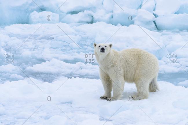 Norway, Svalbard. Sea ice edge, 82 degrees North, polar bear casting curious look.