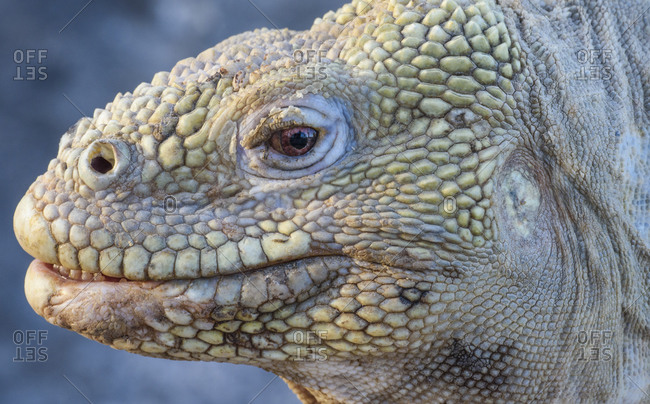 Ecuador, Galapagos Islands. Galapagos land iguana portrait.