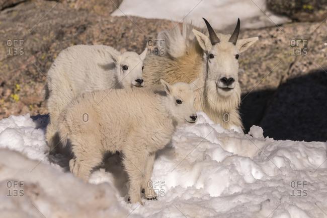 USA, Colorado, Mt. Evans. Mountain goat kids and nanny.