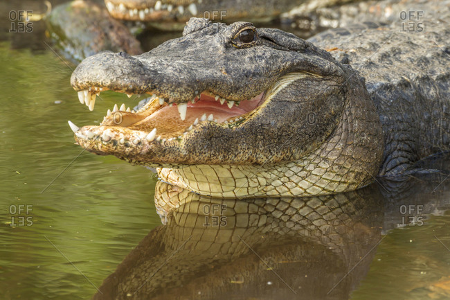 USA, Florida, Anastasia Island, Alligator Farm. Close-up of captive alligator in water.
