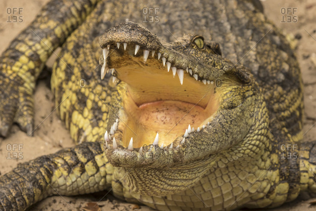 USA, Florida, Anastasia Island. Close-up of captive alligator.
