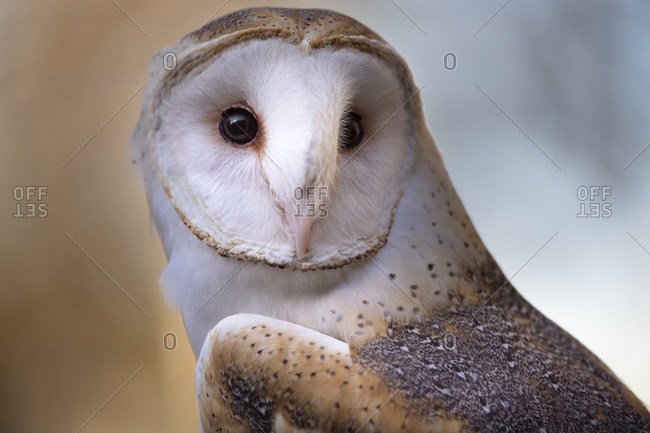 A Barn Owl, close up, looking directly on