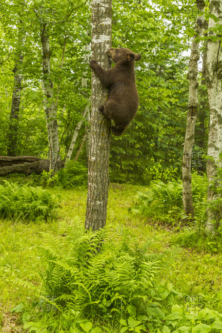 USA, Minnesota, Pine County. Black bear cub climbing tree.